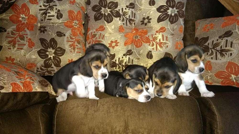 Cachorritos Beagle Tricolor