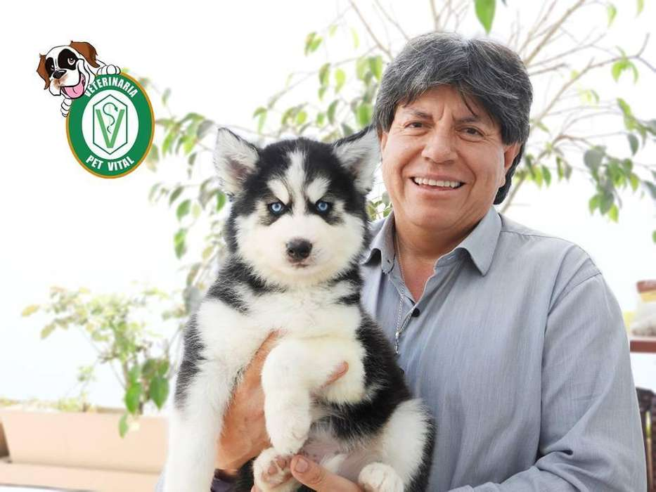 HERMOSOS CACHORROS HUSKY SIBERIANO EN PET VITAL !!!
