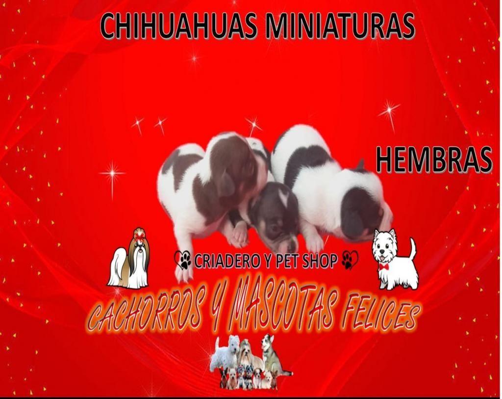 CRIADERO VENDE CACHORROS CHIHUAHUAS, HEMBRA Y MACHOS ENTREGA INMEDIATA, ENVIÓ PARA TODO EL PAÍS