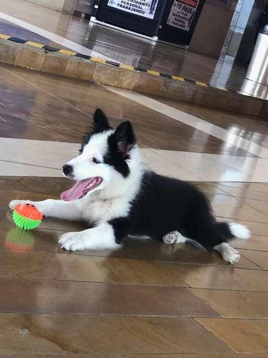 <strong>perro</strong> Border Collie