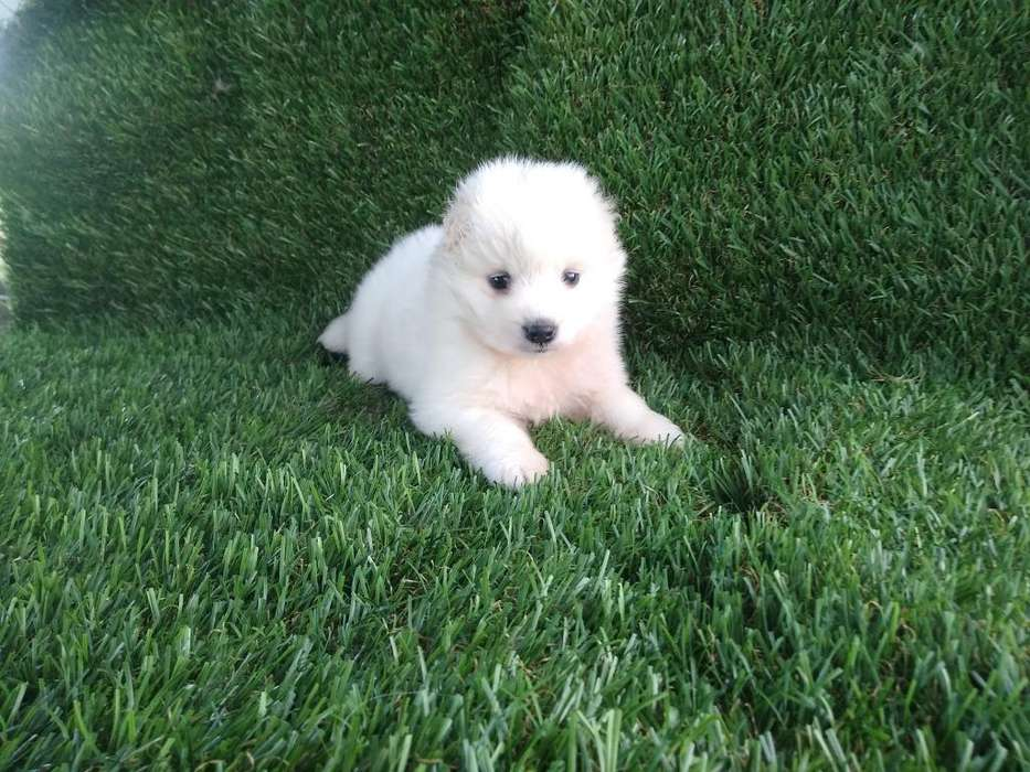 Hembra <strong>samoyedo</strong> Disponible