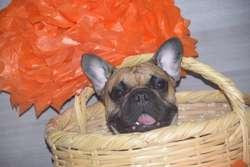 Bulldog Frances Disponible para Montas