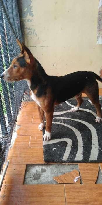 Hermoso Perro Bulterry