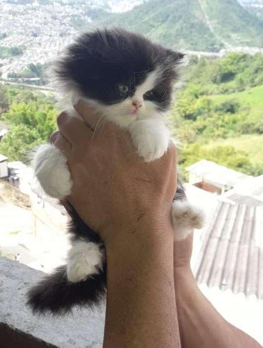 Hermoso gatico Macho Persa Disponible