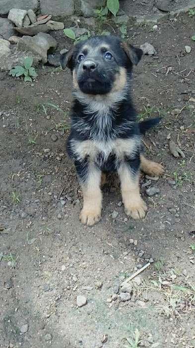 Disponibilidad de <strong>cachorro</strong>s Pastor Alemá