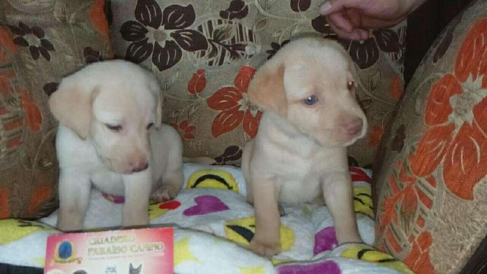 Labrador Original Disponible Criadero.c
