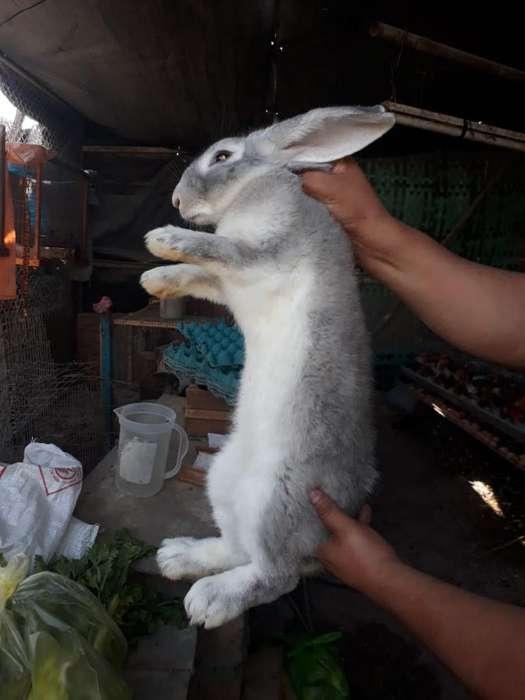Se Vende Conejo Gigante