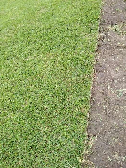 Gras Grass Americano Natural Vivero