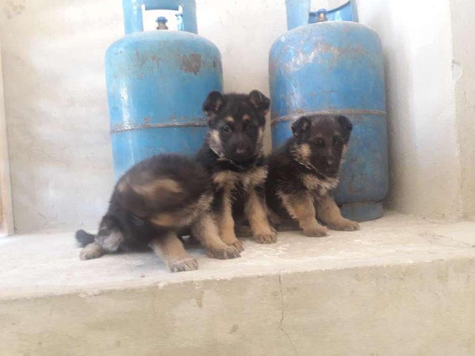Se Vende Cachorros Pastores Alemanes