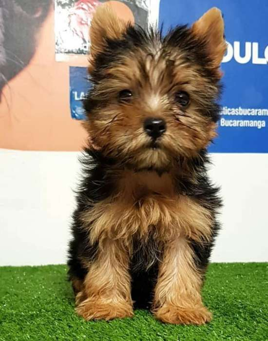Cachorros Yorkshire <strong>terrier</strong>s Mini Hym