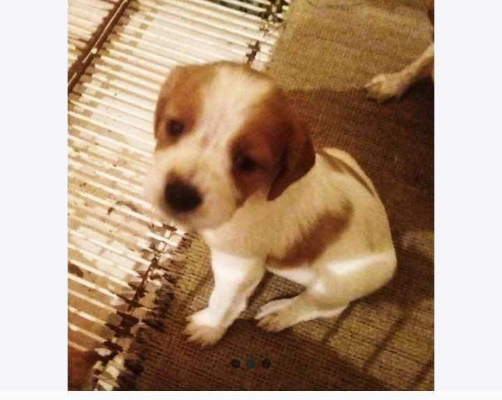 Cachorro Breton espaol puro