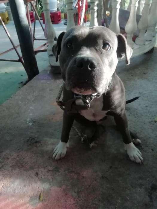 Pitbull American Terrier Blu para Monta