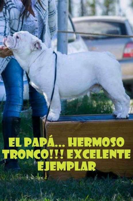 Bulldog Inglés. Microchipiados Fca.