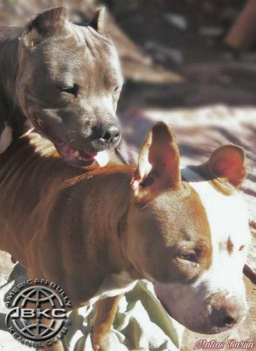 Pitbull Blue Y Blue Fawn Cachorros