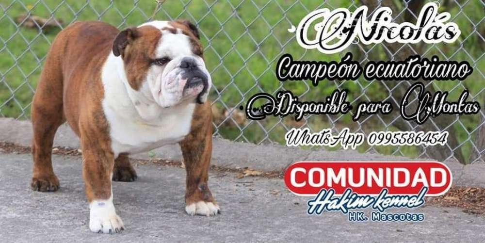 Bulldog Ingles Nicolás Campeón Ecuatoria