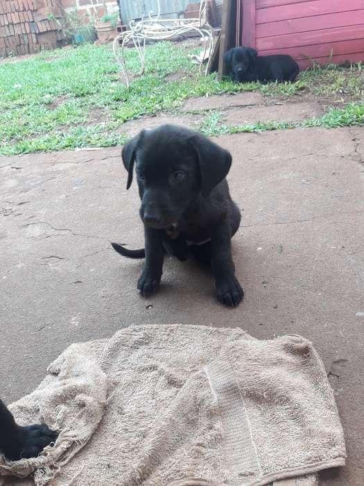 Regalo Labradores Puro