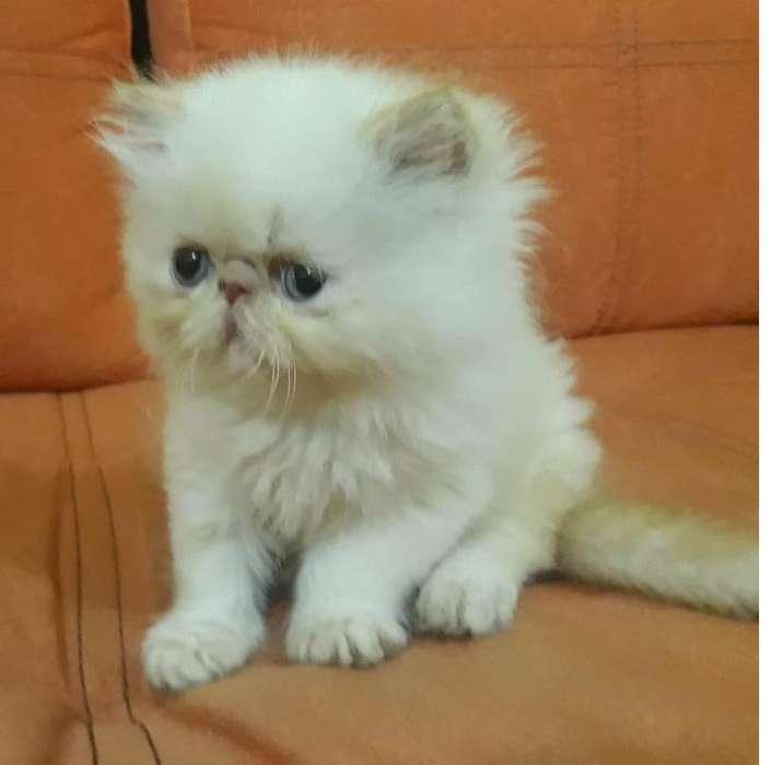 hermoso <strong>gato</strong> Peke face