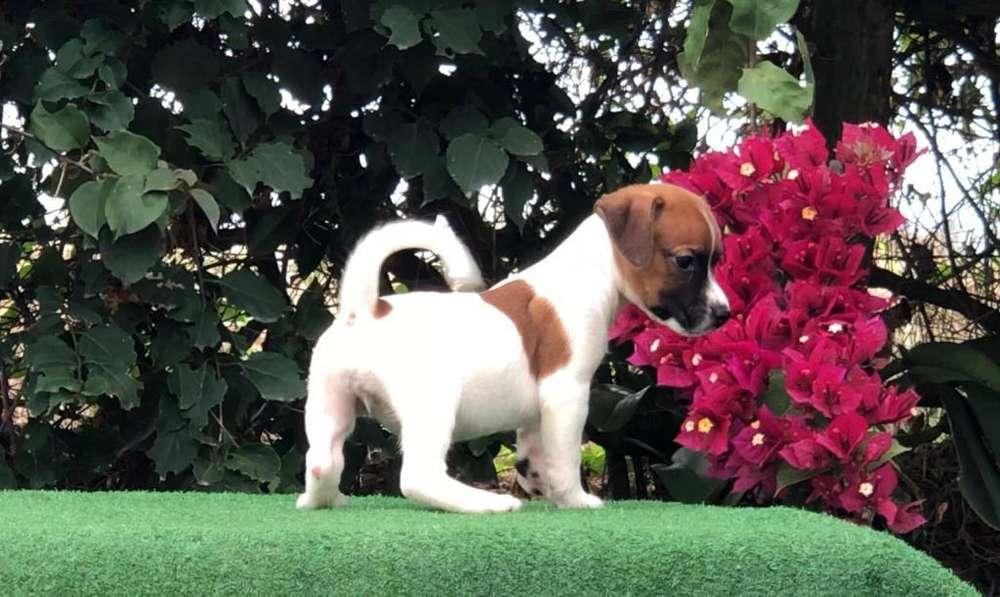 Cachorritos Jack Russell Terrier
