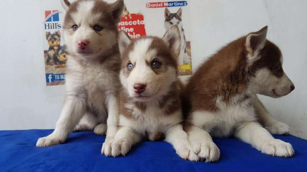 Pelaje Husky Siberianos Rojos Disponible