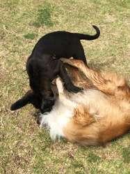 Lindos Cachorros Cane Corso