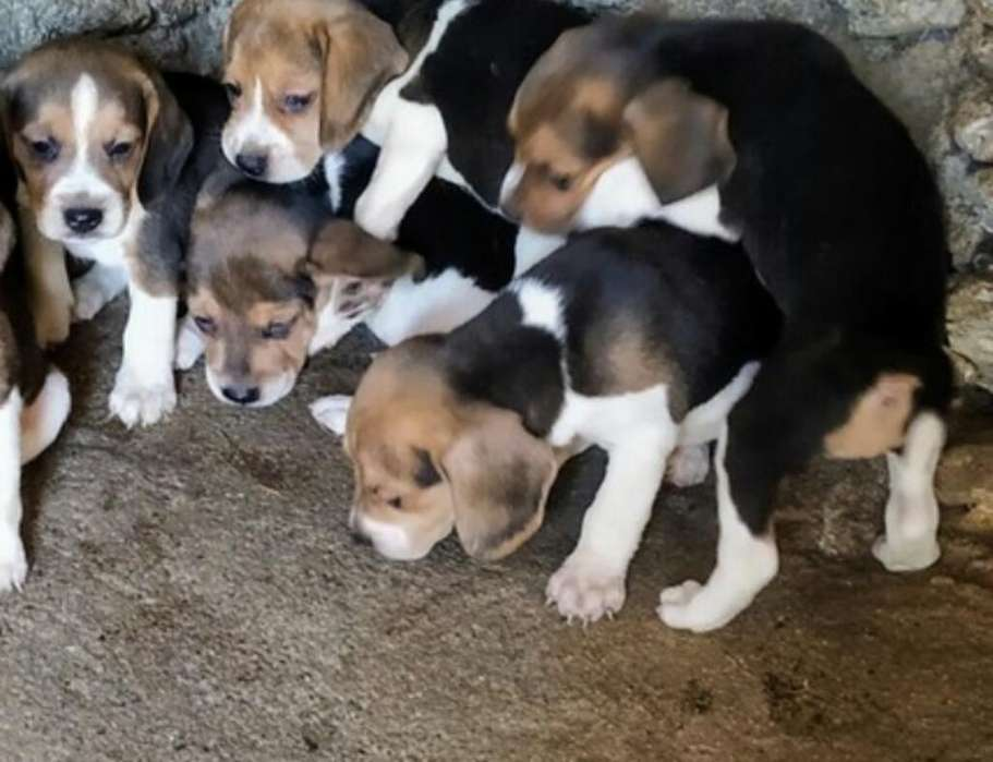 Hermosa <strong>beagle</strong> Ultima