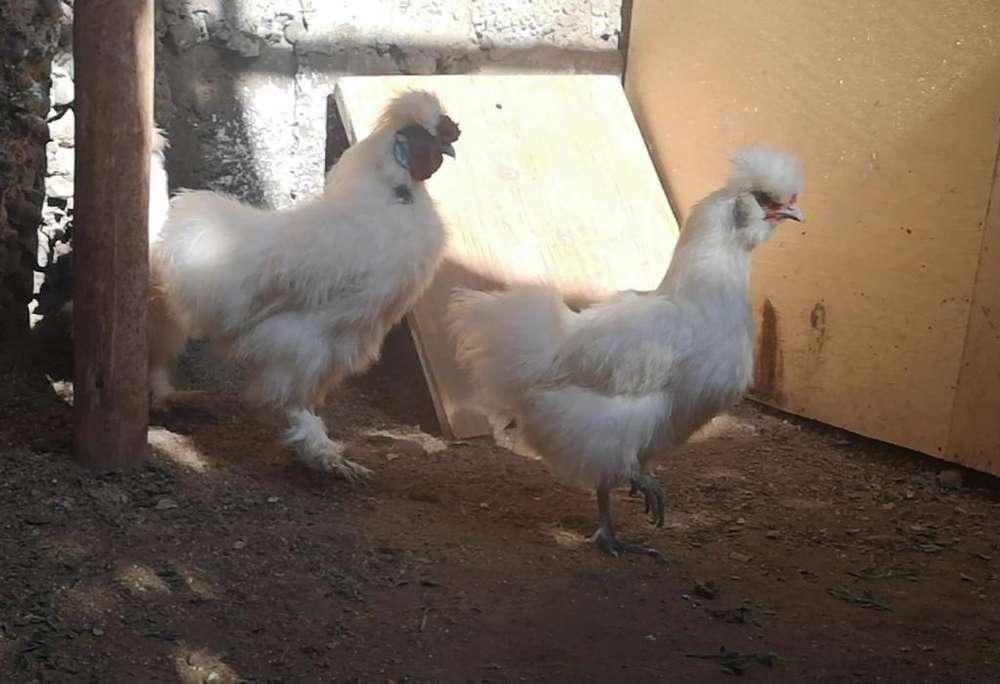 Gallo Y 02 Gallinas Silkie