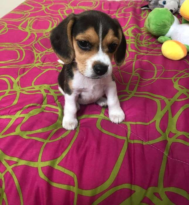 <strong>beagle</strong> Raza Pura