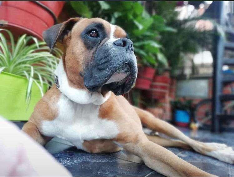 Perro <strong>boxer</strong> para Monta