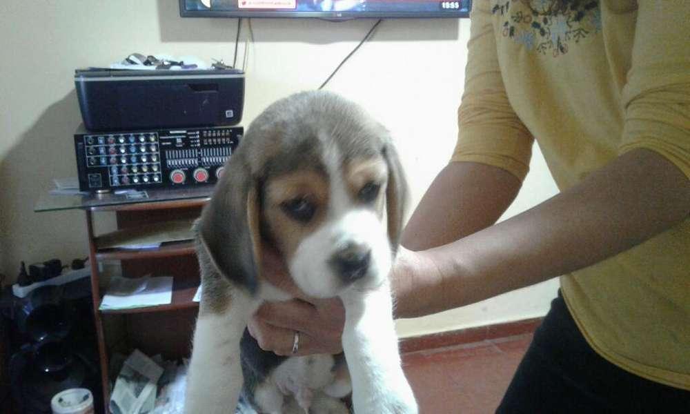 Perrito Beagle Puro .40 Días