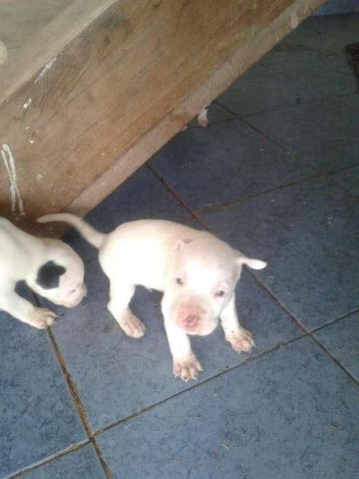 Cachorros pitbull con 35 dias de nacidos