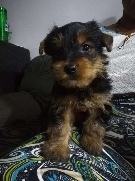 Venta Perrito Yorkshire<strong>terrier</strong>