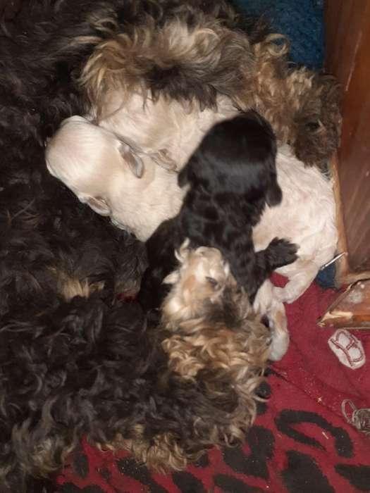 Vendo Caniches Mini Macho Y Hembra