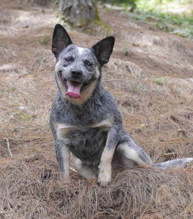 Pastor Ganadero Australiano, Cachorros.