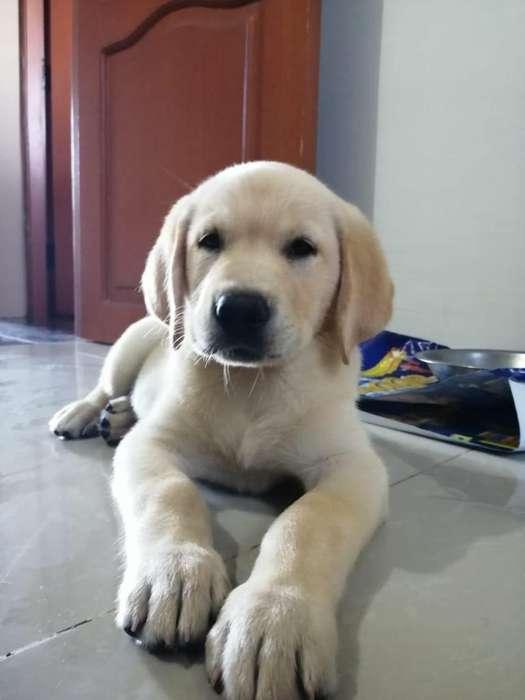 Vendo Perro Labrador Puro
