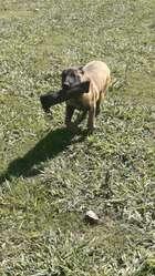 Cachorros Ovejeros Belgas Malinois