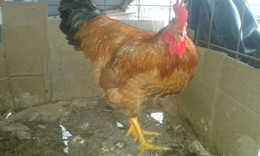 Venta de <strong>gallo</strong> Criollo