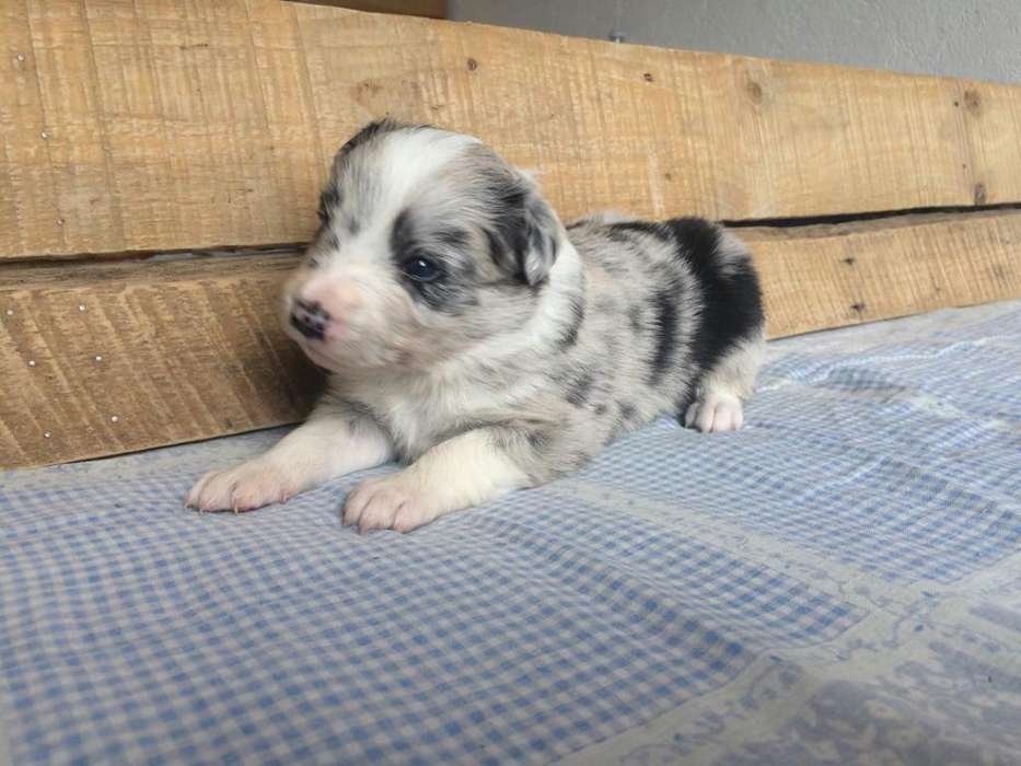 Border <strong>collie</strong> Blue Merle 100% Puro