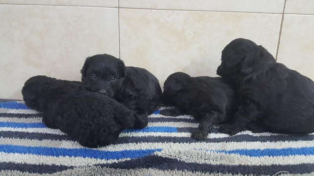 Caniches Toy Cachorros Negros