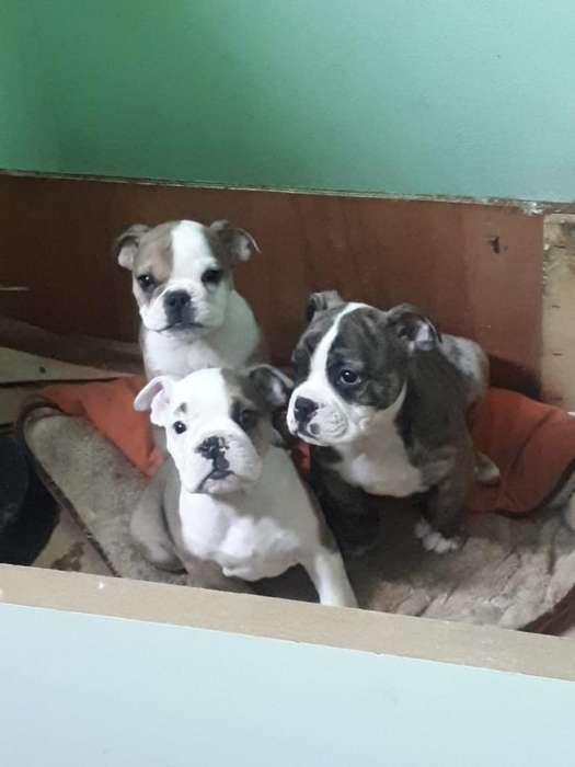 Tre Últimos Bulldog Ingles