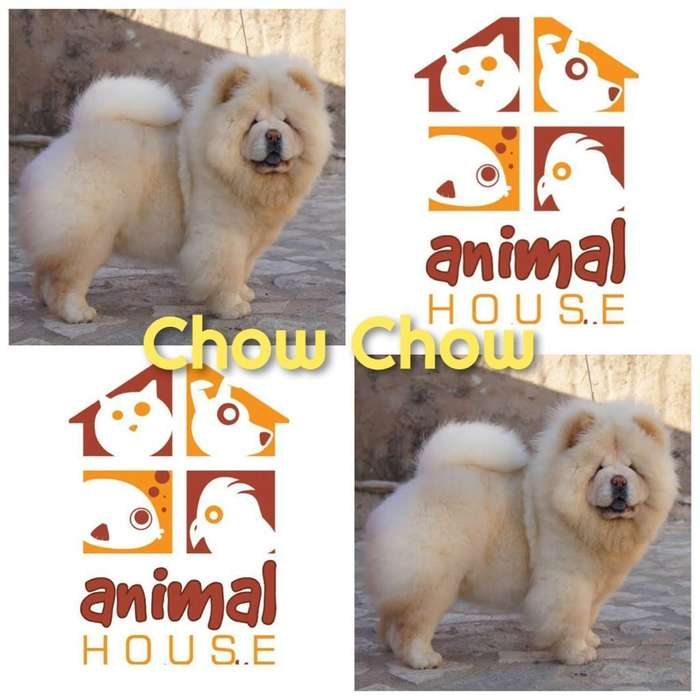 Chow Chow Ref34