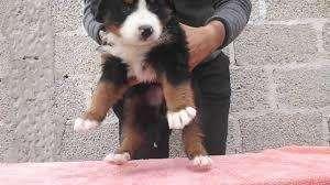 perro bernes de la montaña cachorros disponibles camada nueva