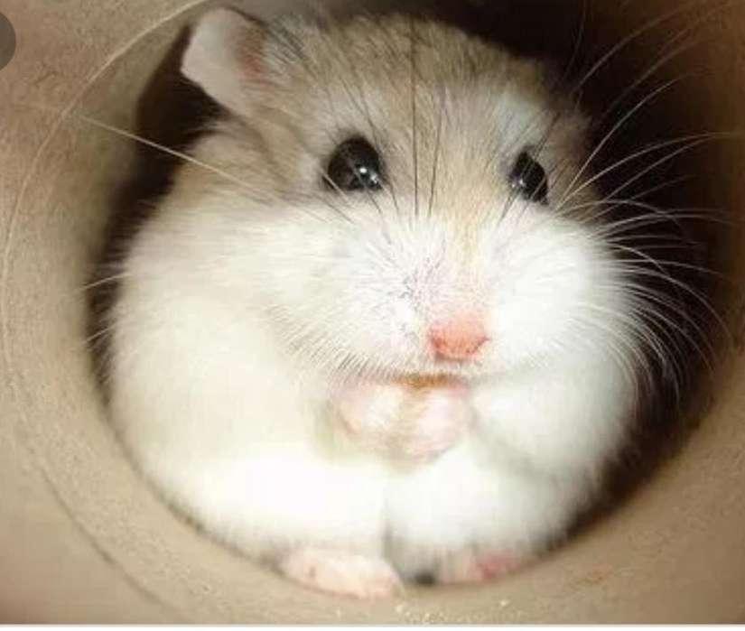 Hamster rusos hermosos