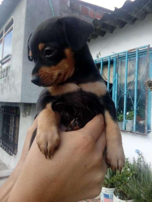 Venta de <strong>cachorro</strong>s Pincher