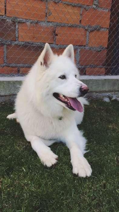 <strong>perro</strong> de raza Samoyedo busca novia