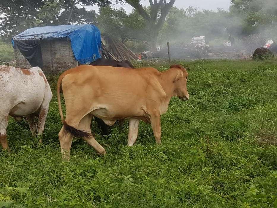 <strong>vacas</strong> Y Novillas