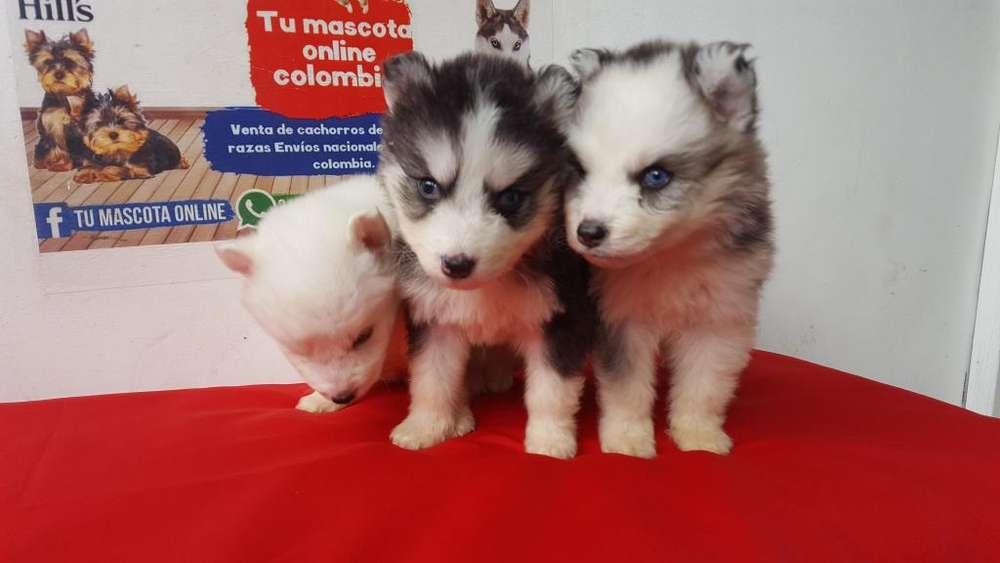 Manto Negro y blanco Lobos Siberianos Ojos azul