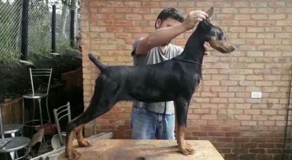 Hermoso <strong>cachorro</strong> Doberman Registrado