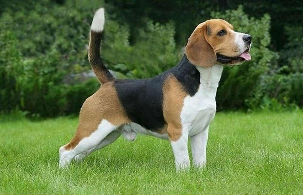 Vendo Beagle con Fca