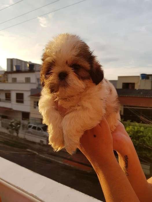 <strong>cachorro</strong>s Shihtzu Mini Tricolor