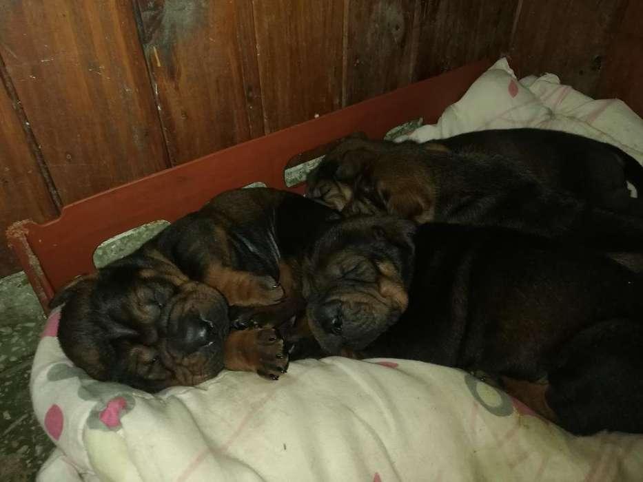 Cachorritos Cruza con Shar Pei